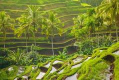Bei terrazzi del riso alla luce moring, Bali, Indonesia Immagine Stock