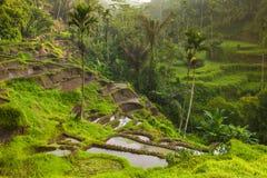 Bei terrazzi del riso alla luce moring, Bali, Indonesia Fotografia Stock Libera da Diritti