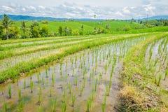 Bei terrazzi verdi del riso con le piccole piante di riso che crescono, vicino al villaggio di Tegallalang in Ubud, Bali Indonesi Immagini Stock
