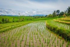 Bei terrazzi verdi del riso con le piccole piante di riso che crescono, vicino al villaggio di Tegallalang in Ubud, Bali Indonesi Fotografia Stock