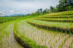 Bei terrazzi verdi del riso con le piccole piante di riso che crescono, vicino al villaggio di Tegallalang in Ubud, Bali Indonesi Fotografia Stock Libera da Diritti