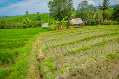 Bei terrazzi verdi del riso con le piccole piante di riso che crescono, vicino al villaggio di Tegallalang in Ubud, Bali Indonesi Fotografie Stock