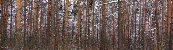 Bei tronchi della foresta di inverno degli alberi coperti di neve Paesaggio di inverno Le nevi bianche copre il terreno e gli alb immagini stock