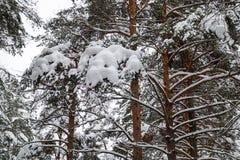 Bei tronchi della foresta di inverno degli alberi coperti di neve Paesaggio di inverno Le nevi bianche copre il terreno e gli alb fotografie stock