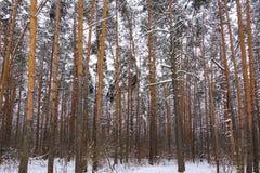 Bei tronchi della foresta di inverno degli alberi coperti di neve Paesaggio di inverno Le nevi bianche copre il terreno e gli alb fotografia stock libera da diritti