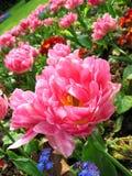 Bei tulipani Fotografia Stock
