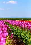 Bei tulipani Fotografie Stock