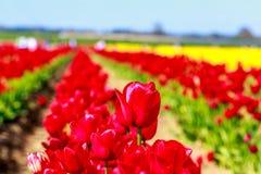 Bei tulipani Fotografia Stock Libera da Diritti