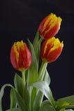 Bei tulipani Immagine Stock