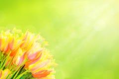 Bei tulipani bianchi, gialli, rosa nel tempo di primavera con i raggi del sole e bokeh Fotografia Stock