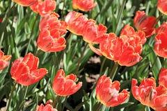 Bei tulipani che fioriscono in primavera fotografia stock