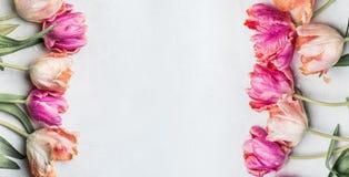 Bei tulipani di colore pastello con le gocce di acqua, insegna floreale, vista superiore Piovuto appena sopra Immagine Stock