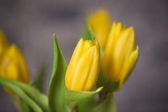 Bei tulipani di giallo della molla in un vaso Immagine Stock Libera da Diritti