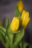 Bei tulipani di giallo della molla in un vaso Fotografie Stock Libere da Diritti