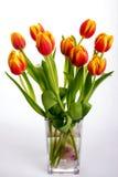 Bei tulipani di rosso arancio su fondo bianco puro Fotografie Stock Libere da Diritti