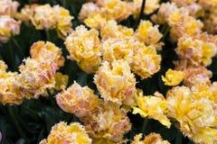 Bei tulipani gialli che crescono nel parco al giorno soleggiato Immagini Stock