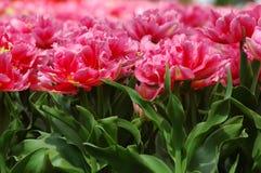 Bei tulipani in Keukenhof, Olanda Fotografie Stock
