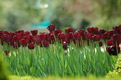 Bei tulipani in Keukenhof, Olanda Immagine Stock