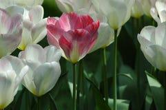 Bei tulipani in Keukenhof, Olanda Fotografia Stock Libera da Diritti