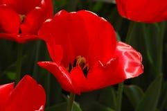 Bei tulipani in Keukenhof, Olanda Immagini Stock Libere da Diritti