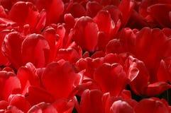 Bei tulipani in Keukenhof, Olanda Fotografie Stock Libere da Diritti