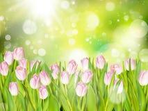 Bei tulipani rosa ENV 10 Fotografia Stock