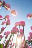 Bei tulipani rosa in un'aiola con luce soleggiata immagini stock