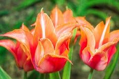 Bei tulipani rossi d'annata Fotografia Stock
