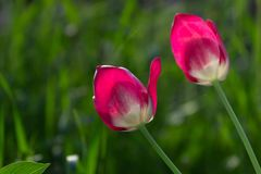 Bei tulipani rossi, Darwin Hybrid Red Tulips in un'aiola Fotografia Stock