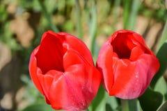 Bei tulipani rossi di fioritura nel giardino nella primavera Fotografie Stock