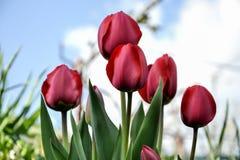 Bei tulipani rossi di fioritura nel giardino nella primavera Fotografie Stock Libere da Diritti