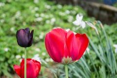 Bei tulipani rossi di fioritura nel giardino nella primavera Fotografia Stock