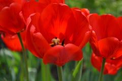 Bei tulipani rossi in primavera Immagini Stock