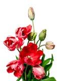 Bei tulipani rossi su priorità bassa bianca Immagine Stock