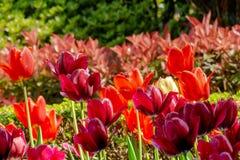Bei tulipani rosso-cupo ed arancio nel giardino botanico, primo piano Immagine Stock Libera da Diritti