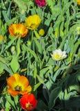 Bei, tulipani variopinti della molla in un parco della città fotografia stock libera da diritti