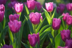 Bei tulipani viola Immagini Stock Libere da Diritti