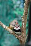 Bei uccelli Astrild Estrildidae che si siede su un ramo Immagine Stock