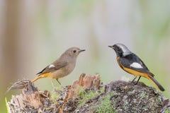 Bei uccelli che stanno sul ceppo all'alba Fotografia Stock Libera da Diritti