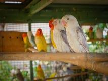 Bei uccelli di amore Fotografie Stock Libere da Diritti