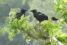 Bei uccelli di amore di nad due del corvo Fotografie Stock