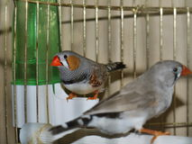 Bei uccellini in una gabbia Fotografie Stock