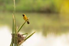 Bei uccello e nido gialli vicino al fiume Fotografia Stock