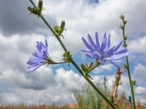 Bei Wildflowers blu Fotografia Stock Libera da Diritti