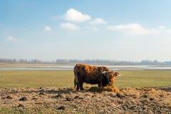 Beifütterung einer Hochlandkuh in einem niederländischen Natur reser Lizenzfreie Stockbilder