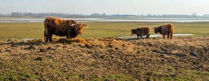 Beifütterungs-Hochlandkühe in einem niederländischen Naturreservat Stockbild