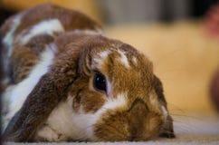 Beiga/brunt Holland Lop Rabbit royaltyfri fotografi