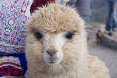 Beige Alpaca Royalty Free Stock Images