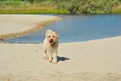 beige Bichon-hond stock afbeelding