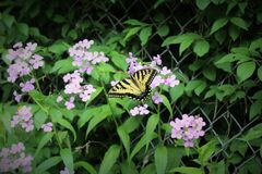 Beige and Black Butterfly on Purple Flower during Daytime Royalty Free Stock Photography